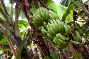 Bananen II